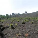 Detalle marco de plantación en cepas viejas. Suelo pizarroso y poda de formación en vaso
