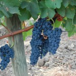 Racimo de uva tinta en espaldera. Detalle suelo franco arenoso.