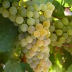 Variedad Chardonnay madura