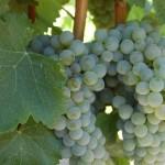 Variedad Chardonnay en maduración