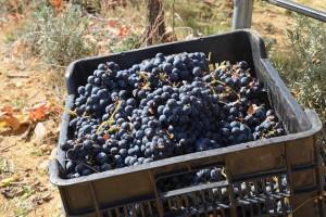 Recogida manual de uva en Bodega Finca Volvoreta