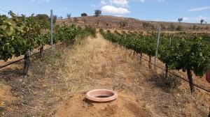 Tinaja de vino dentro de viñedo bodega Finca Volvoreta