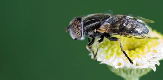 Mosca de las flores Goldfly
