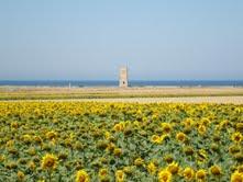 También existen campos de pipas de girasol