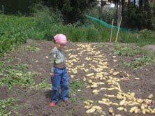 Mi niña, en una recolecta de patatas del campo de mi padre
