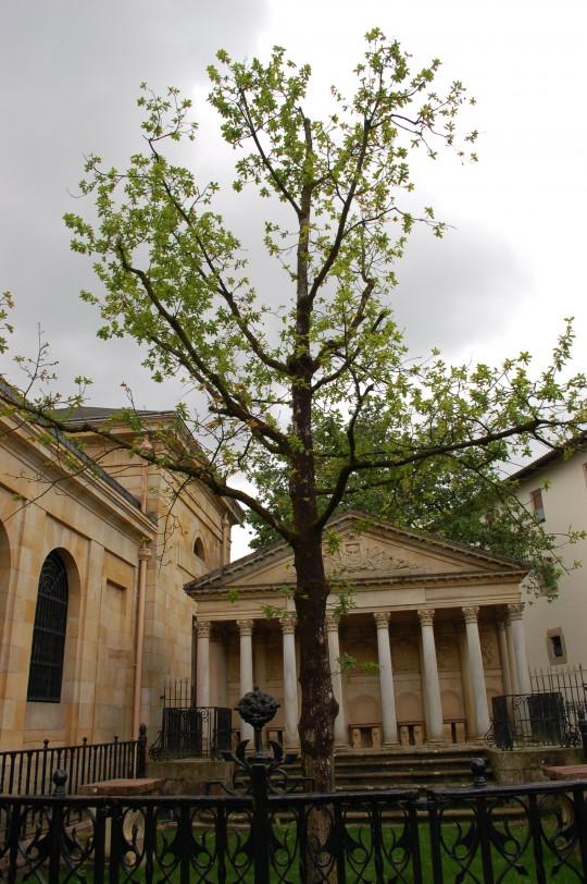 El último árbol de Guernica, plantado ante la Tribuna de la Casa de Juntas.